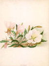Evening Primrose (expired - suitable for soap making)