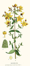 Hypericum, Infused (expired - suitable for soap making)