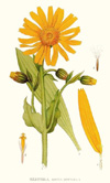 Arnica, Infused (expired - suitable for soap making)