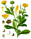 Calendula, Infused (Calendula officinalis)