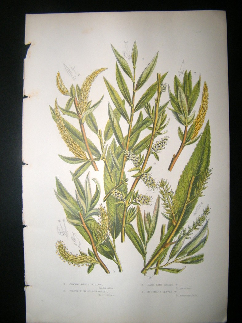 White Willow Bark (Salix alba) Tincture 1:2