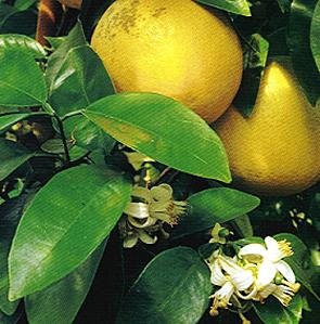 Grapefruit Citrus paradisi