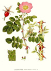 Rosehip, Organic (expired - suitable for soap making)